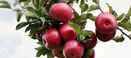 Zweig eines Apfelbaumes an welchem rote Äpfel hängen ©Pixabay